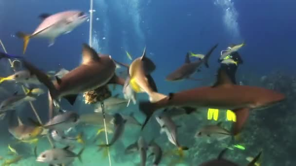 Scuba shark feeding show. The divers, sharks.