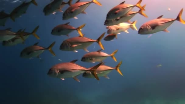 Hejno ryb pod mořem při hledání potravy