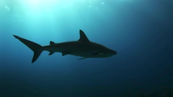 Grauer Riffhai im Meer auf Nahrungssuche.