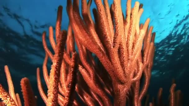 Gorgonian coral at night in the light of a lantern