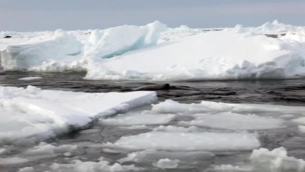 Seals swim at edge of ice in search of young.