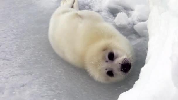 Roztomilý novorozence Seal Pup na ledu při pohledu na fotoaparát