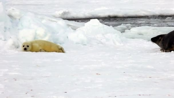 Mom Is Looking For Cute Newborn Seal Pup On Ice.
