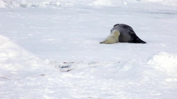 Newborn Seal Pup drink milk from mothers nipple.