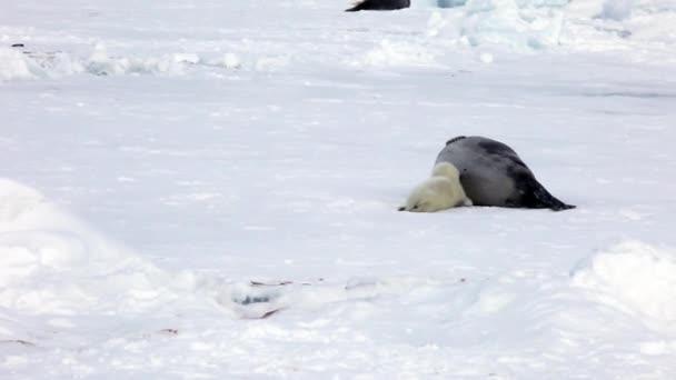Newborn Seal Pup drink milk from mothers nipple.