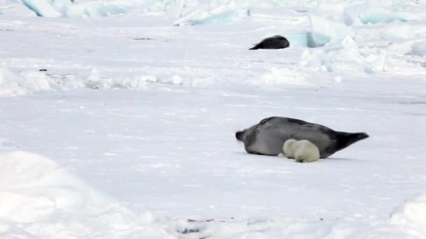 Cute Newborn Seal Pup On Ice In Search Of Mom.