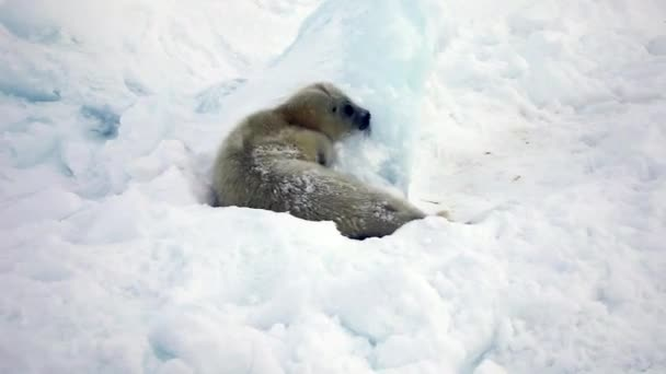 Newborn Seal Pup In Ice And Snow In Search Of Mom.