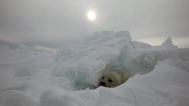 Cute Newborn Seal Pup hidden among the ice floes.
