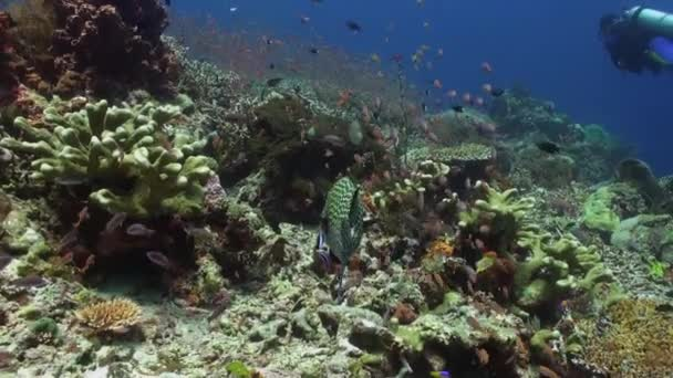Blackspotted sweetlips fish on coral reef in sea.