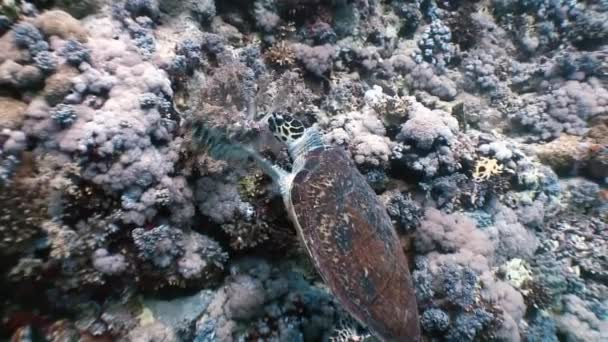 Hawksbill sea turtle swimming eating on coral reef