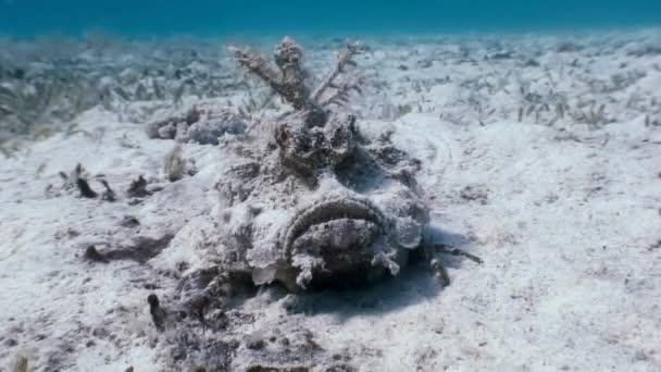 Skorpionfisch Steinfische Skorpaenopsis diaboblus.