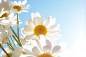 Michaelmas daisies, a pretty wildflower which epitomises simplicity, honesty and hope.  The daisy images can be used as backgrounds for inspirational and motivational quotations, for prints and for greetings cards.
