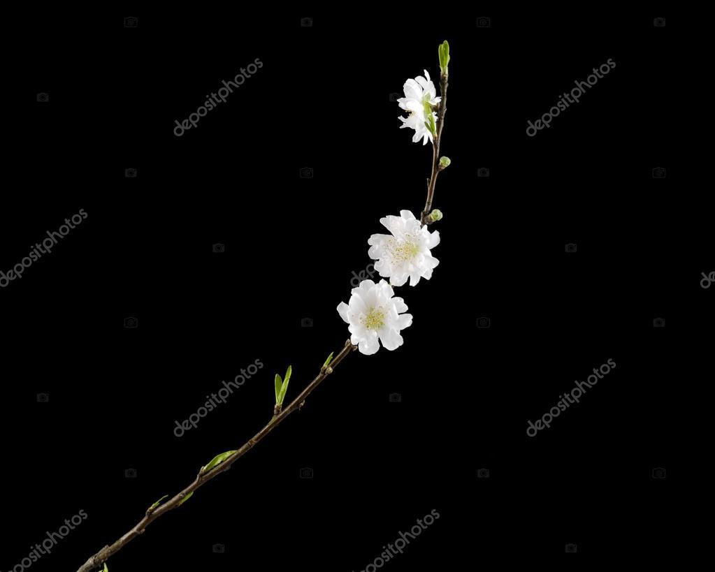 Sakura Fleur De Cerisier Blanc Photographie Gracelin 52502063