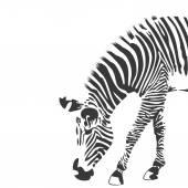 Zebra-fekete-fehér illusztráció
