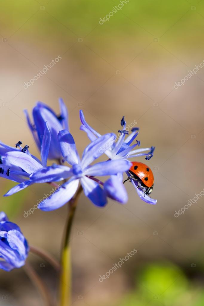 Single Ladybug on violet bellflowers in spring