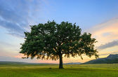 Fotografie Beautiful Oak at the sunset