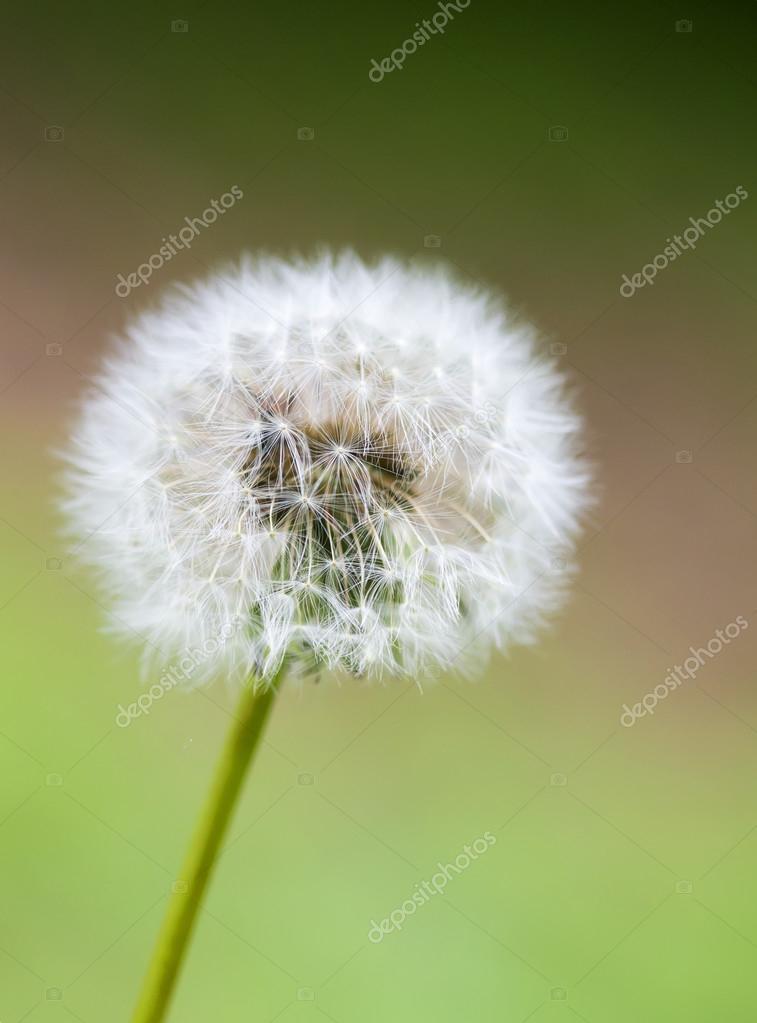 Single dandelion on green grass background