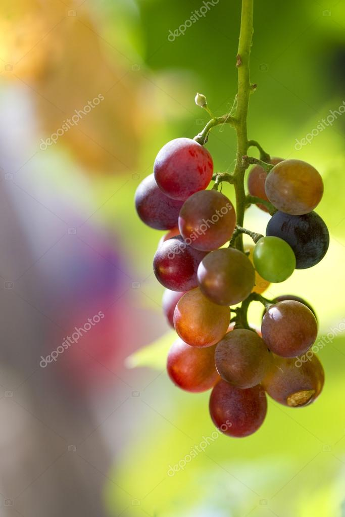 grapes outside with green background
