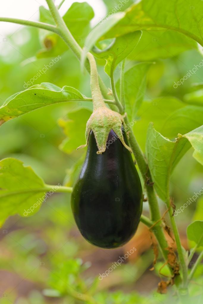 eggplant fruit growing in the garden