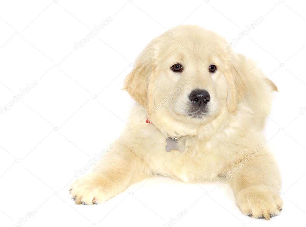 Golden Retriever Köpek Yavrusu Yalan Ve üzerinde Beyaz Izole Kamera