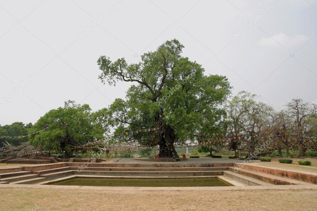 träd i södra asien