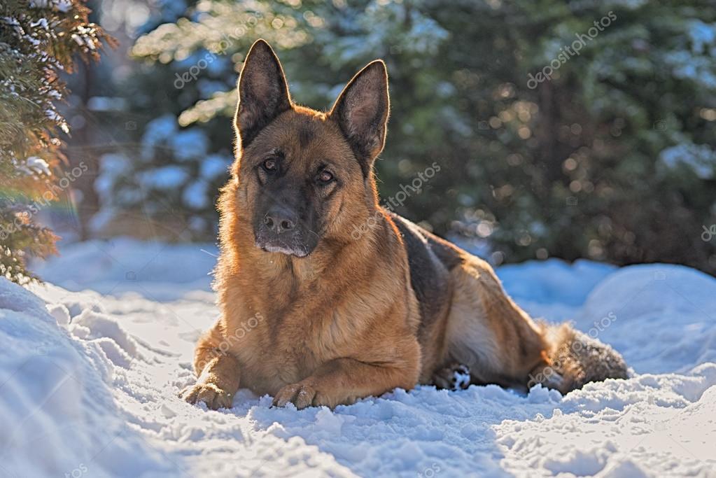 German shepherd lying on the snow in the winter sun
