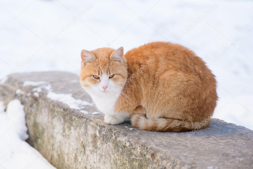 Ginger Cat sitting on a Rock
