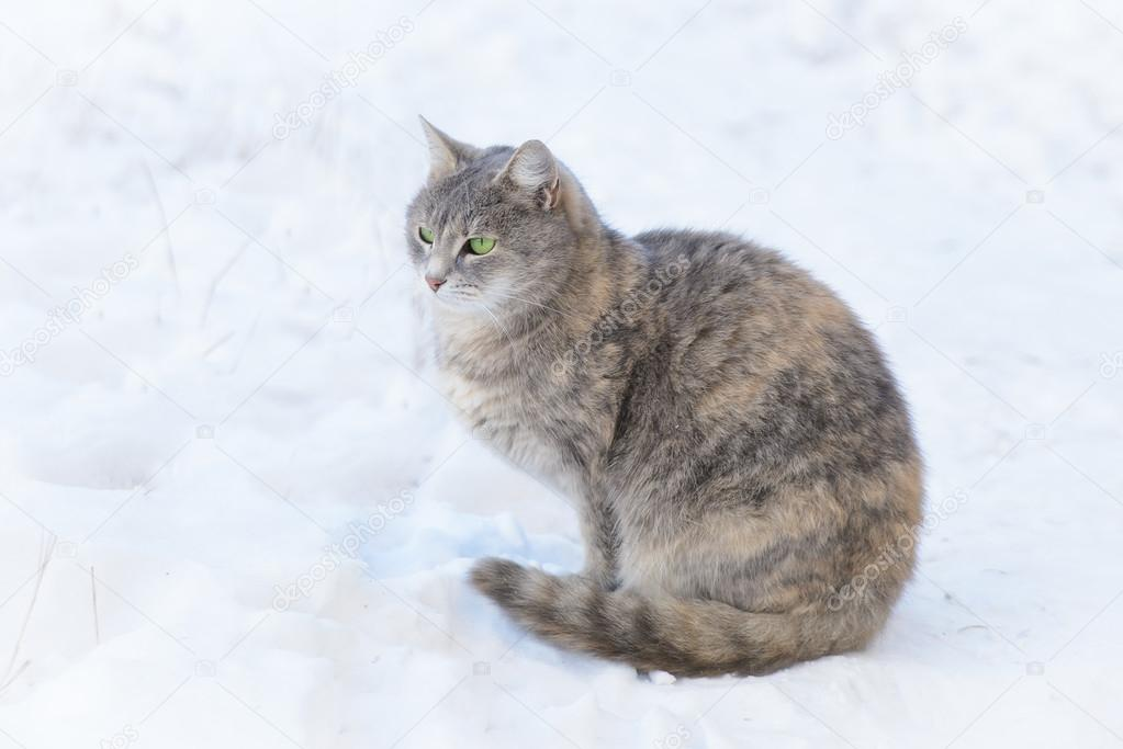 Cat Walks in the Snow
