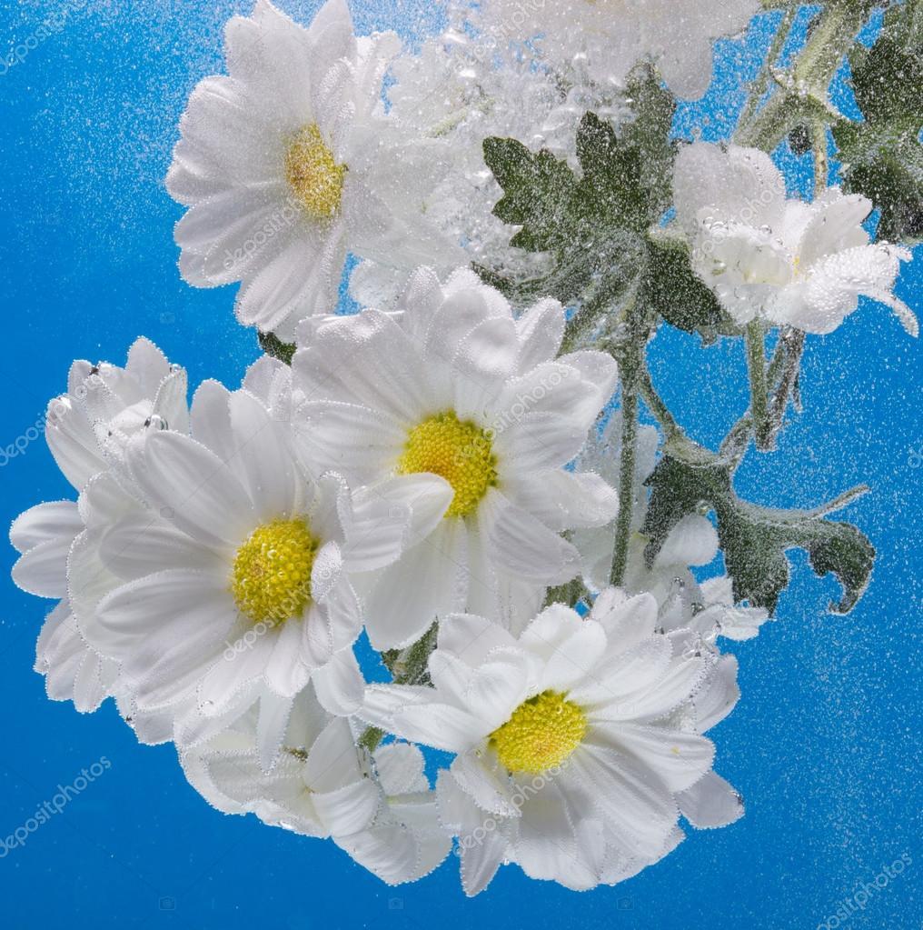 Crisantemo bianco con gocce d 39 acqua foto stock for Finestra con gocce d acqua