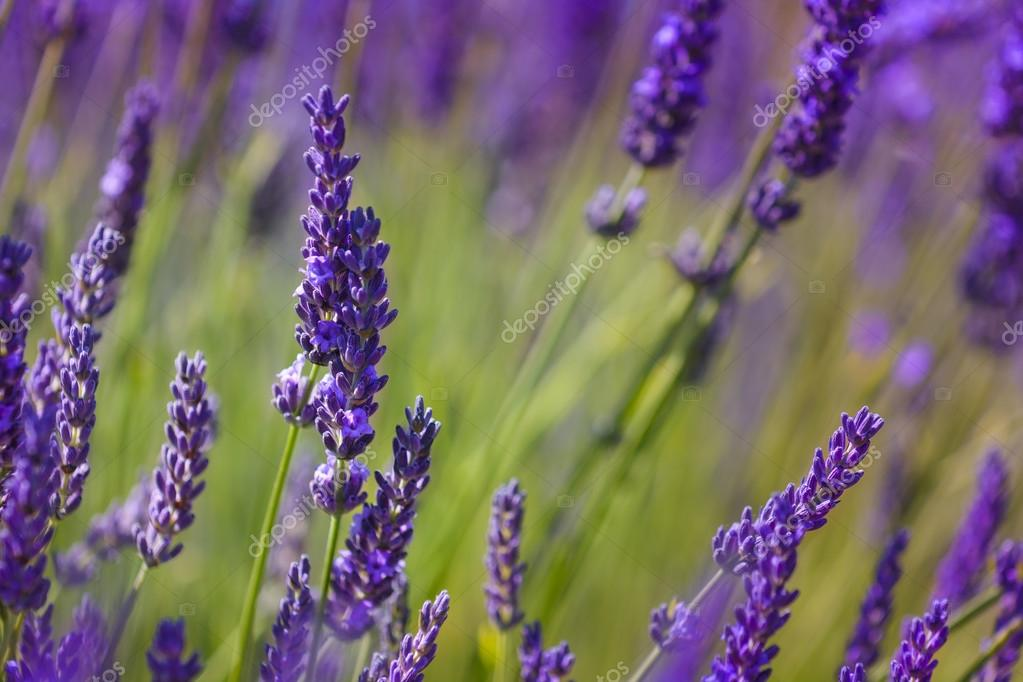 Close up of flowers of lavender
