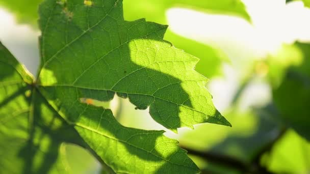 Close up of leaves of vines, Beaujolais, France