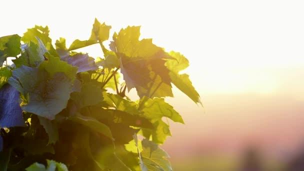 Ranní světla a listy vinné révy s vysokým kontrastem, Beaujolais půdy, Francie