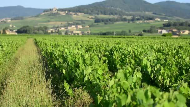 Vinic Beaujolais s ranní světla