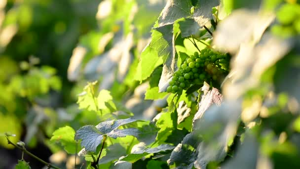 Young leaves and grape of vine, Beaujolais