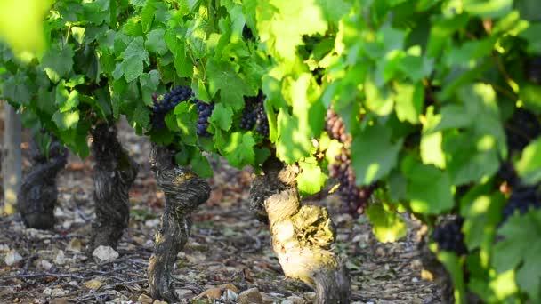 Červené grappe v vinic Beaujolais
