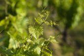 Fotografia foglie di vite