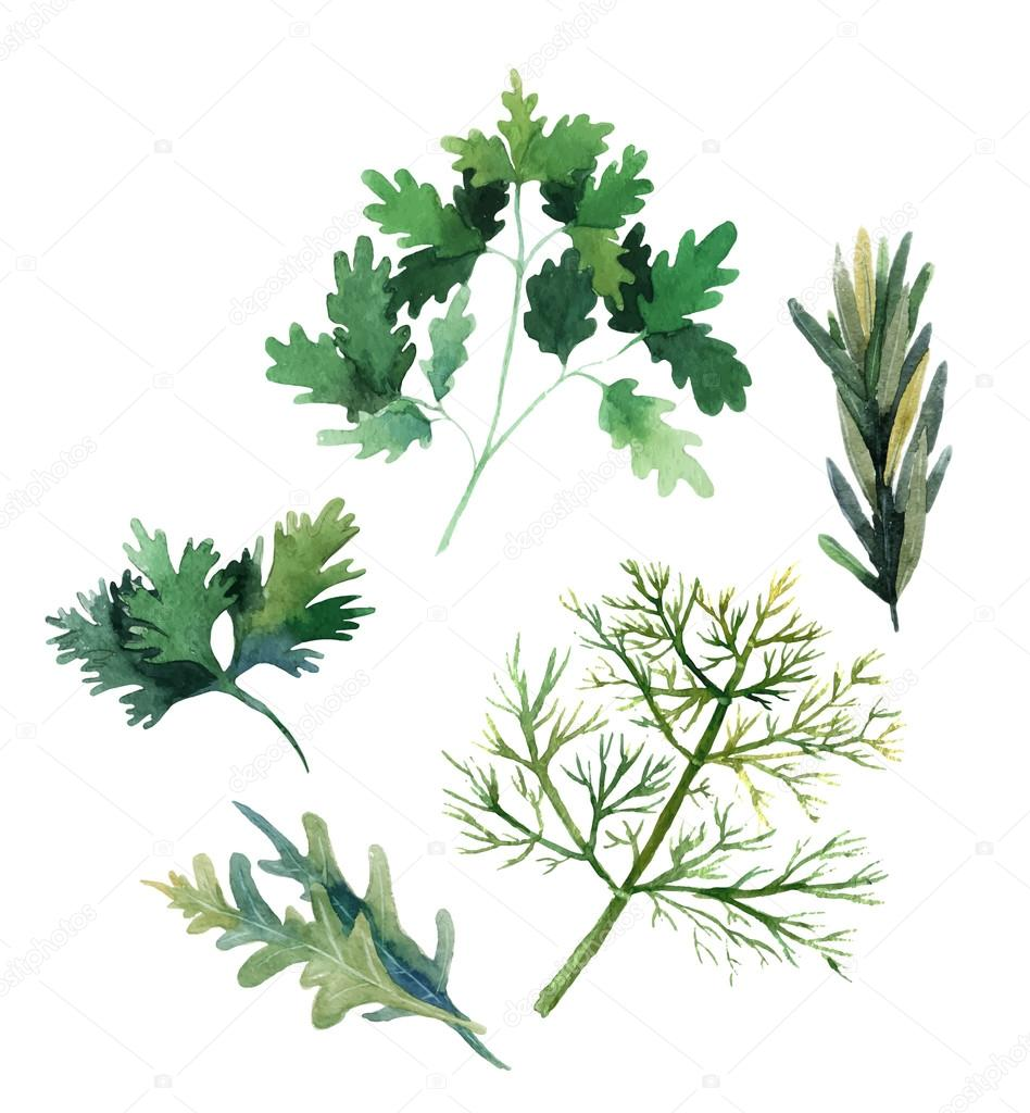 Water color herbs. Fennel, parsley, rosemary and arugula. Vector