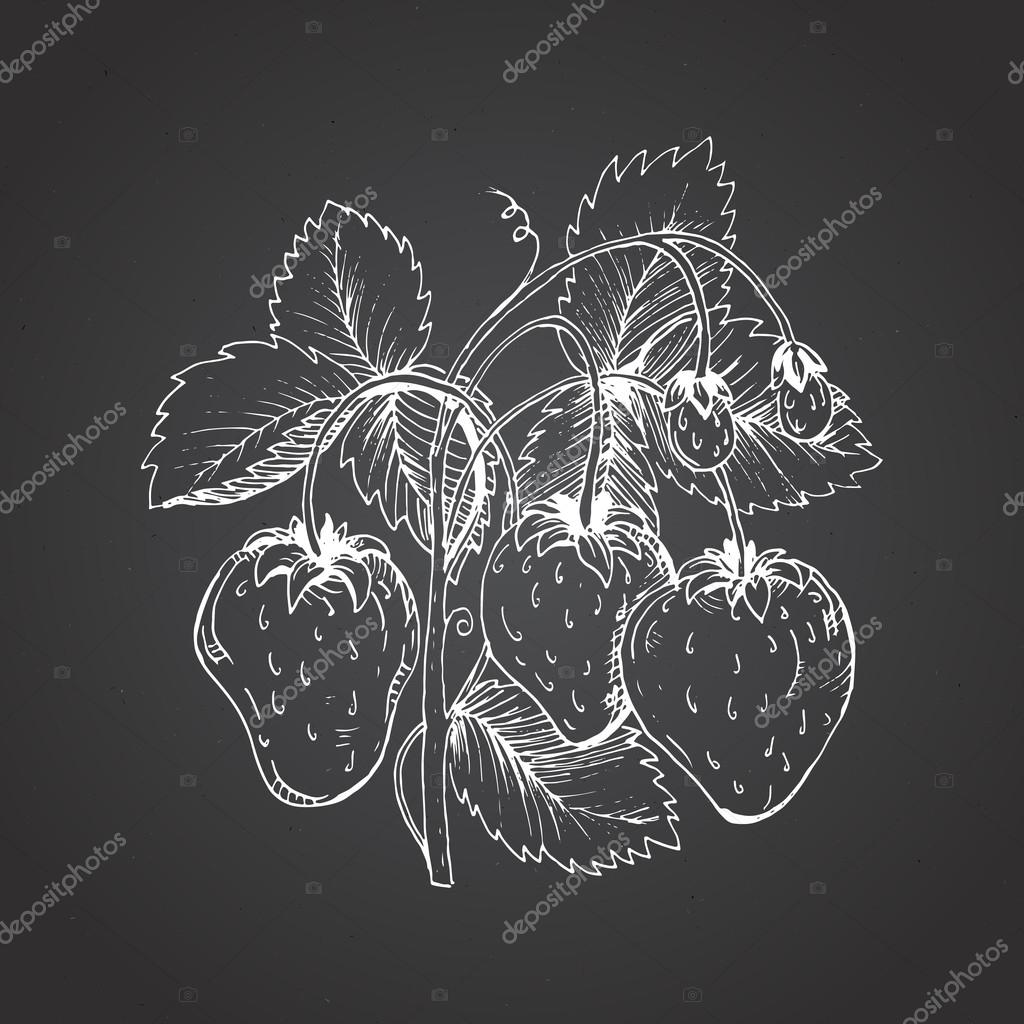 Strawberry drawing. A strawberry bush against a dark background