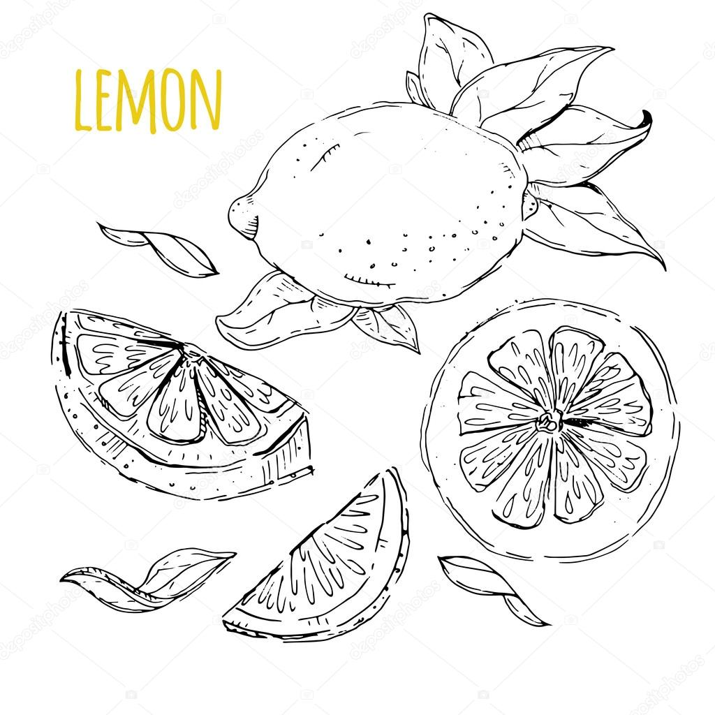 The drawn set of lemons. Lemon segments, juicy lemon. White back