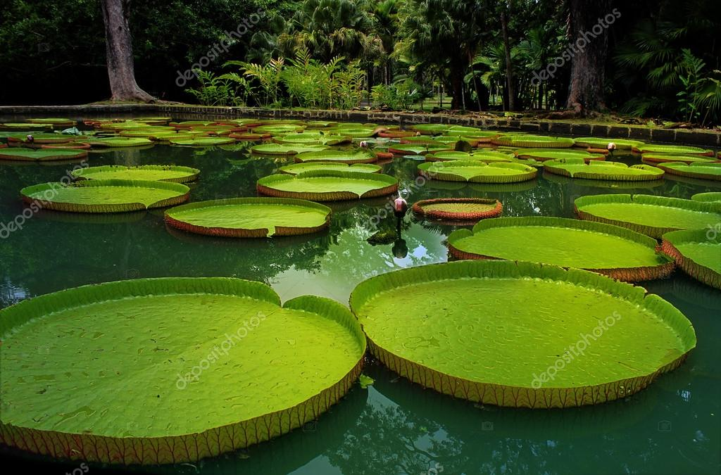 Giant water lillies. Victoria amazonica
