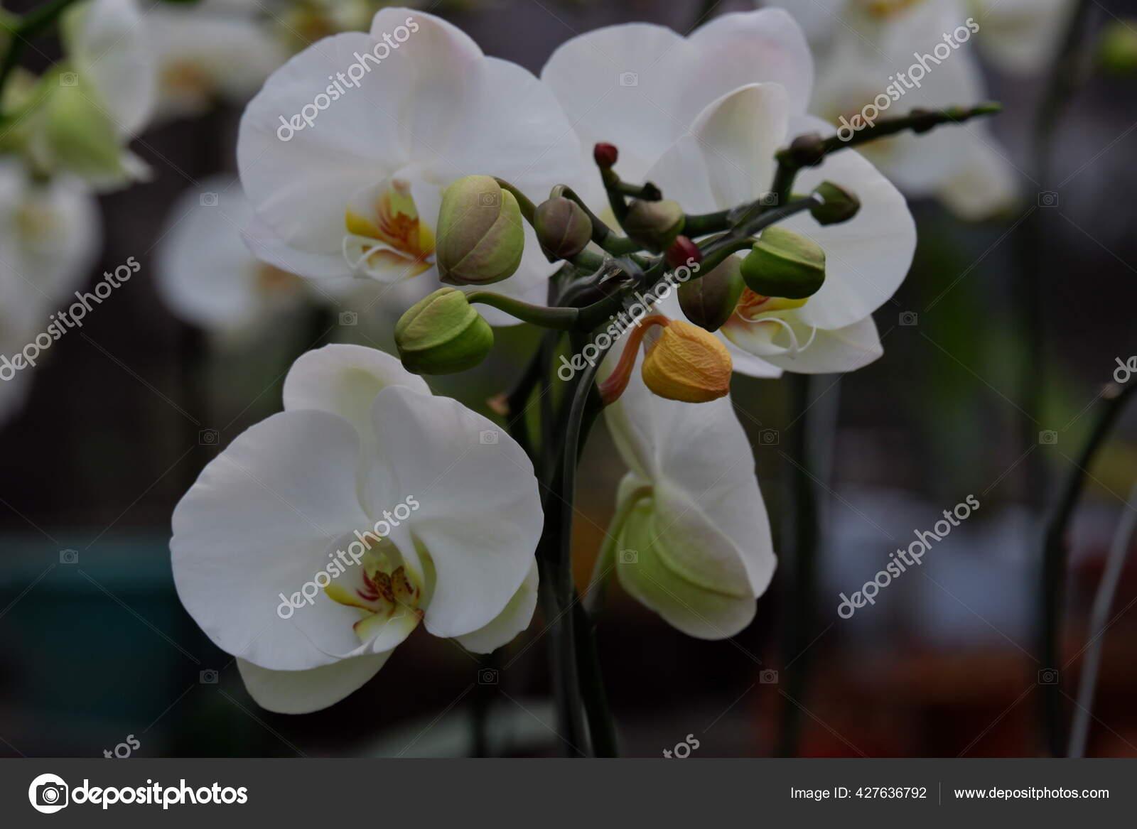 Bunga Anggrek Bulan Putih Pandangan Dekat Indah Putih Phalaenopsis Amabilis Stok Foto C Pengejarsenja Depositphoto Gmail Com 427636792