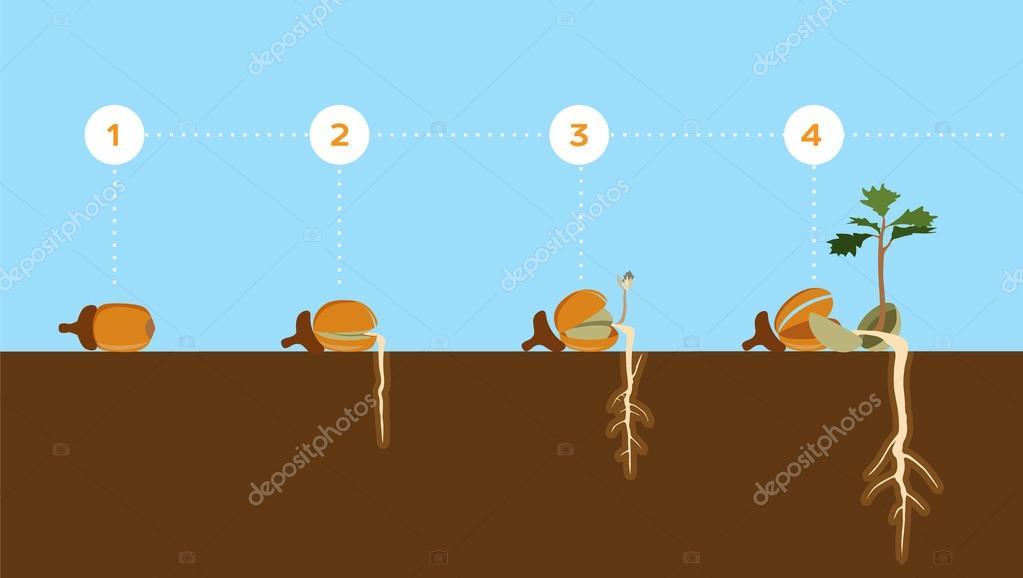 ドングリの発芽の教育イラスト ストックベクター Vectorgenetic