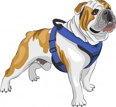 vector  English Bulldog