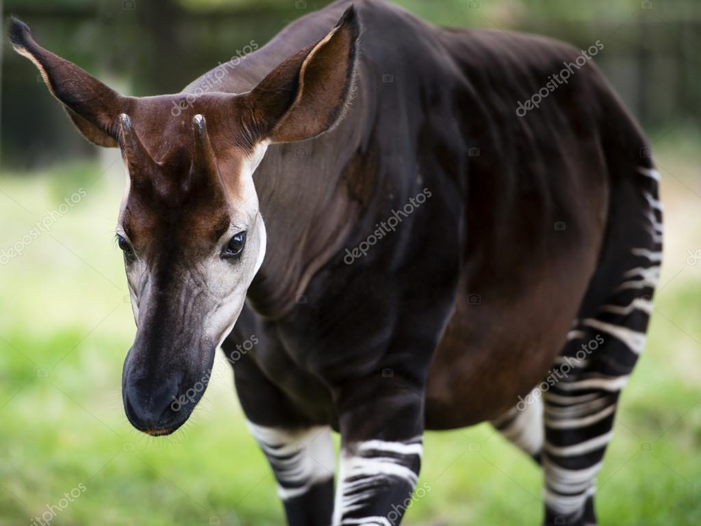 Das Okapi Bekannt Als Wald Giraffe Oder Zebra Giraffe Stockfoto