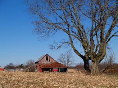 Leafless Maple Tree Next to an Old Barn