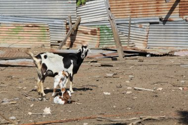 Mother goat with her kids showing the typical condition of a goat pen in Antigua Barbuda in the Caribbean Lesser Antilles West Indies.