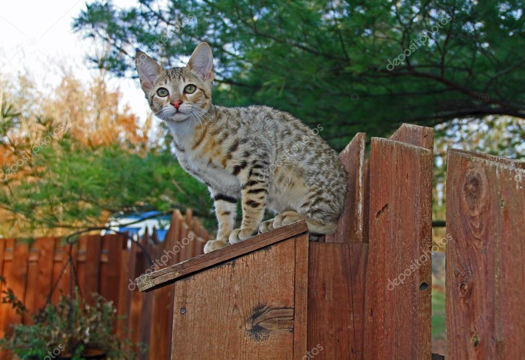 A spotted gold colored domestic Serval Savannah kitten on a wooden fence with green eyes.