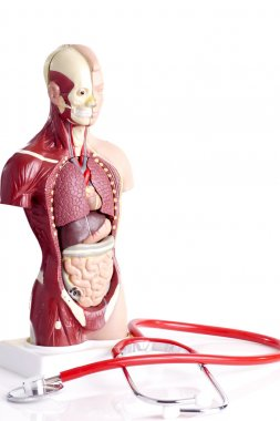 Human anatomy model and stethoscope