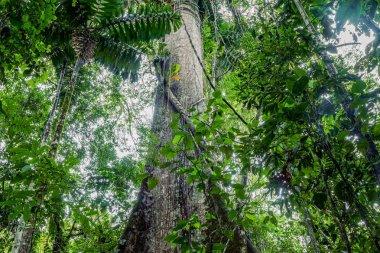 Giant Kapok Tree, Ceiba Pentandra