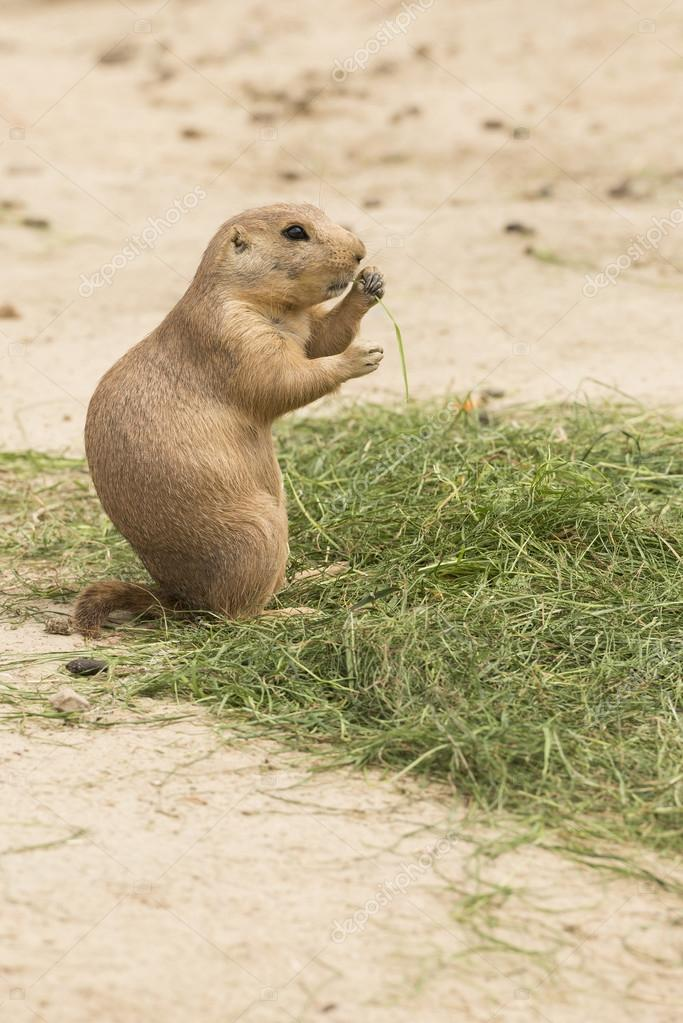 Grass eating North American Prairie dog